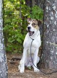 White and tan mixed breed puppy dog barking, animal shelter pet adoption photo. Young 10-month old unneutered male tri-colored pup dog outside with black leash stock photos