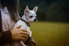 White Tan Smooth Chihuahua Royalty Free Stock Photo
