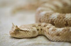 White Tan Snake Royalty Free Stock Images