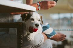 White Tank Long Coat Puppy Dog on Person's Lap With Ball in Mout Royalty Free Stock Photos