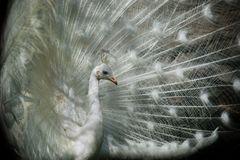 white tasiemkowy albinoski pawi Fotografia Royalty Free