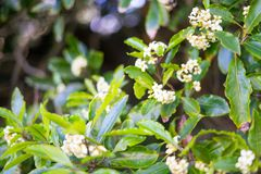 White tea flowers in Japanese Tea Garden. Golden Gate Park, San Francisco, California: 03/23/2018 - cherry blossom next to Japanese Tea Garden that was not ready stock images