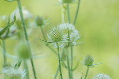 White Teasels Stock Images