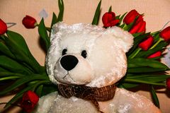 White Teddy bear on the background of red tulips stock photos