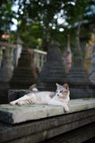 White temple cat Stock Photo