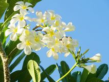 White Templetree. In the garden Royalty Free Stock Photos