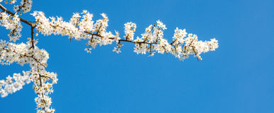 White tender blooming cherry brunch on a blue sky background. Royalty Free Stock Photos