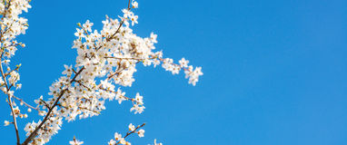 White tender blooming cherry brunch on a blue sky background. Stock Photos