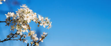 White tender blooming cherry brunch on a blue sky background. White tender blooming cherry brunch on the blue sky background Royalty Free Stock Image