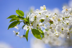 White tender blooming cherry brunch on the blue sky nice spring. Day Stock Image