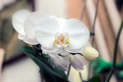 White tender orchid Royalty Free Stock Photos