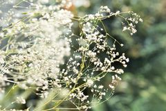 White tender summer field flowers.  royalty free stock photos