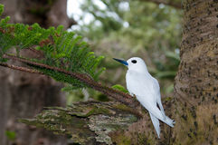White Tern Royalty Free Stock Photography