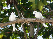 White tern, angel tern, white noddy (Gygis alba). Is a small seabird found across the tropical oceans of the world. Cousin Island, Seychelles Stock Photography
