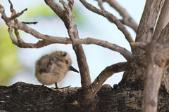 White tern chick sitting on a branch Stock Images