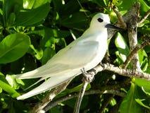 White Tern Stock Image
