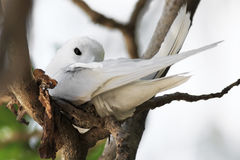 White tern incubates the egg on a tree branch Royalty Free Stock Photos