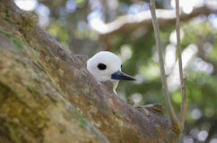 White tern on Lord Howe Island. A white terns (Gygis alba) peering over a tree branch on Lord Howe Island off the coast of Sydney and New South Wales, Australia stock photos