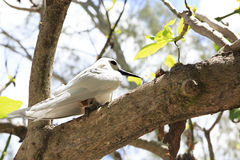 White tern sits on his chick in tree branch Stock Photography