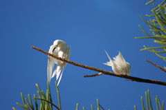 White Terns Royalty Free Stock Photos