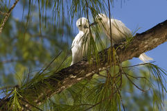 White terns in tree. A pair of white terns perched on a tree limb. Species: Gygis alba royalty free stock photography