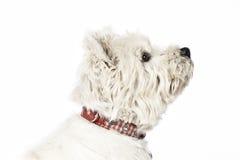 White Terrier Stock Photos