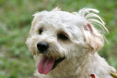 White terrier. Headshot of small terrier with clumpy hair Stock Image
