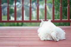 White terrier on balcony in suburban neighborhood Stock Images
