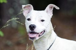 White terrier pitbull mixed breed dog. Female lactating White Pit bull terrier mix dog mutt recently had puppies. Outdoors on leash. Pet rescue adoption stock image