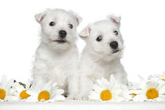 White terrier puppies in daisies Royalty Free Stock Photography
