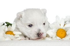 White Terrier puppy in daisies Stock Images