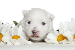 White Terrier puppy in daisies Royalty Free Stock Photo