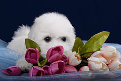 White Terrier puppy gnawing flower Stock Image