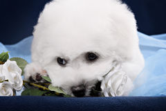 White Terrier puppy gnawing flower Stock Images