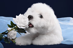 White Terrier puppy gnawing flower Stock Photography