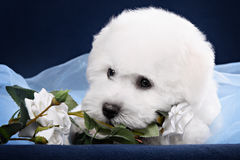 White Terrier puppy gnawing flower Royalty Free Stock Image