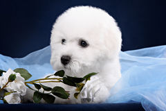 White Terrier puppy gnawing flower Stock Photo