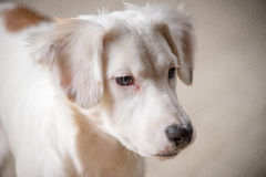 White Terrier Puppy Stock Images