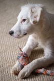 White Terrier Puppy. White terrier mixed-breed puppy playing with chew toy Royalty Free Stock Photos