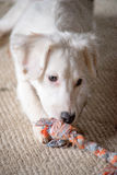 White Terrier Puppy. White terrier mixed-breed puppy playing with chew toy Stock Photo
