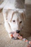 White Terrier Puppy Stock Photo