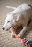 White Terrier Puppy. White terrier mixed-breed puppy playing with chew toy Royalty Free Stock Image