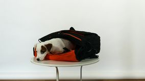 White puppy in bag stock video