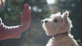 White terrier. Put out your paw Owner executes the command