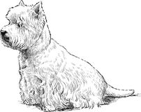 White terrier sits Royalty Free Stock Image