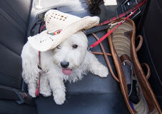 White terrier with strawhat Stock Image