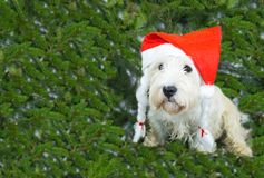 White terrier west highland in red cap symbol of Christmas new year, symbol of 2018 two thousand eighteenth year. On a background of fir branches with copy royalty free stock photos