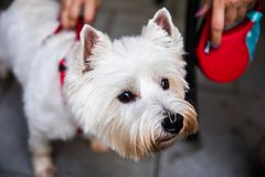 White Terrier. West Highland White Terrier with a red  harness royalty free stock photo