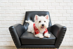 White terrier, westie highland dog Stock Images