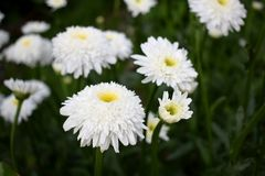 White terry chamomile on the flower bed. In the garden royalty free stock photo